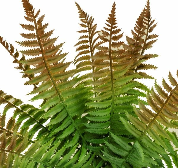 Close-up of rust fern