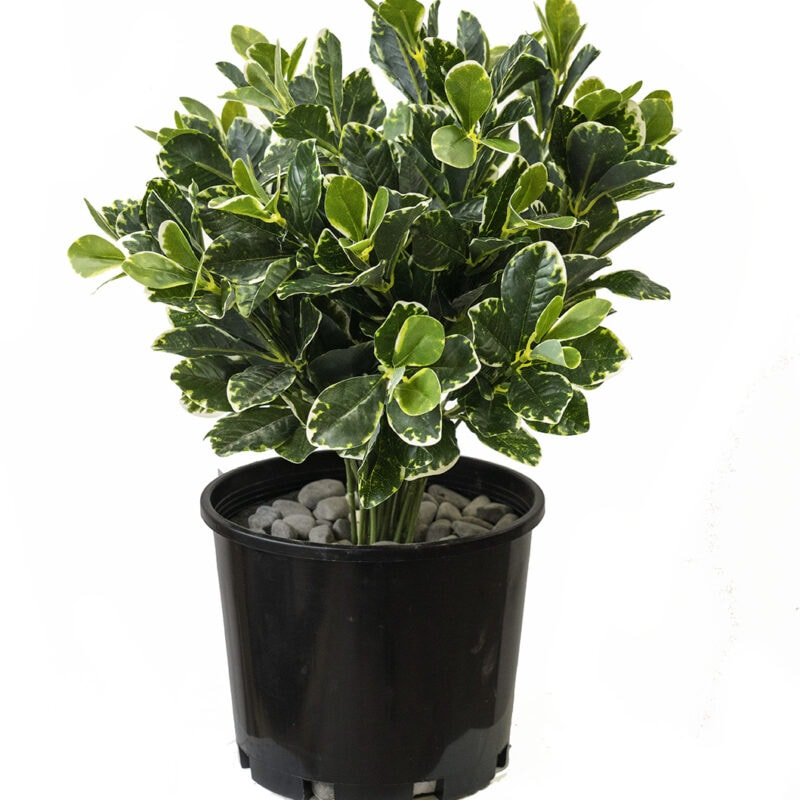 Artificial variegated Plant