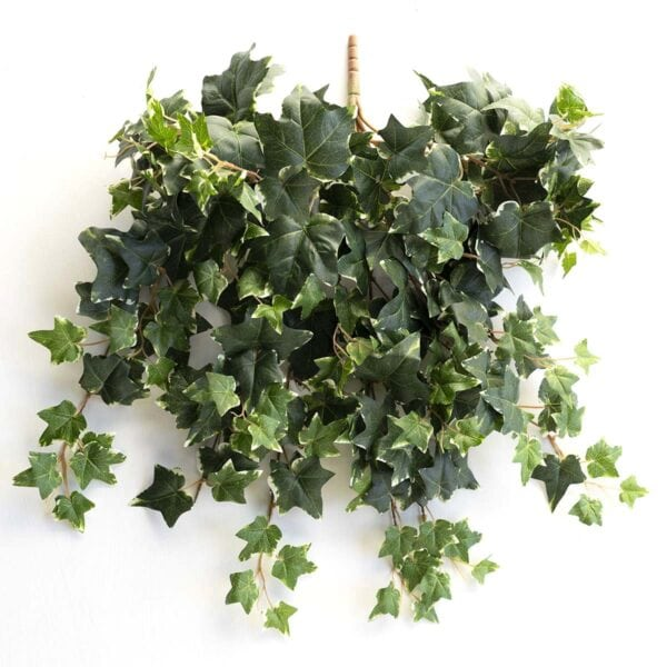 Variegated French Ivy